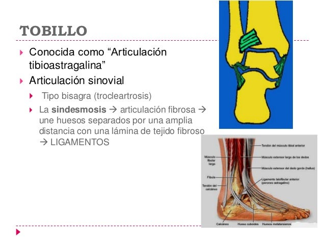 TOBILLO   Conocida como ―Articulación    tibioastragalina‖   Articulación sinovial        Tipo bisagra (trocleartrosis)...