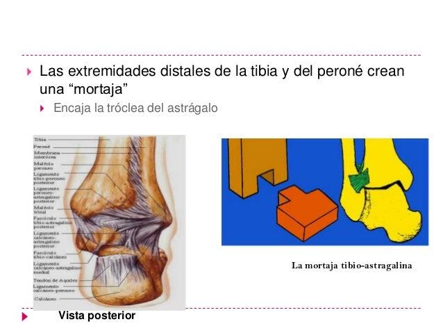    Las extremidades distales de la tibia y del peroné crean    una ―mortaja‖       Encaja la tróclea del astrágalo      ...
