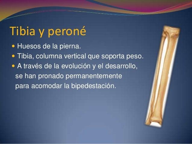 Tibia y peroné  Huesos de la pierna.  Tibia, columna vertical que soporta peso.  A través de la evolución y el desarrol...