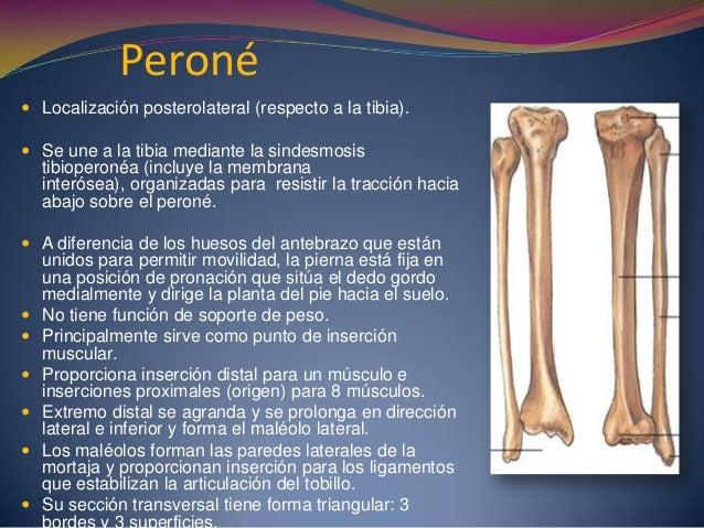 Peroné  Localización posterolateral (respecto a la tibia).  Se une a la tibia mediante la sindesmosis tibioperonéa (incl...
