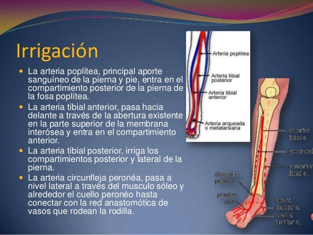 Irrigación  La arteria poplítea, principal aporte sanguíneo de la pierna y pie, entra en el compartimiento posterior de l...