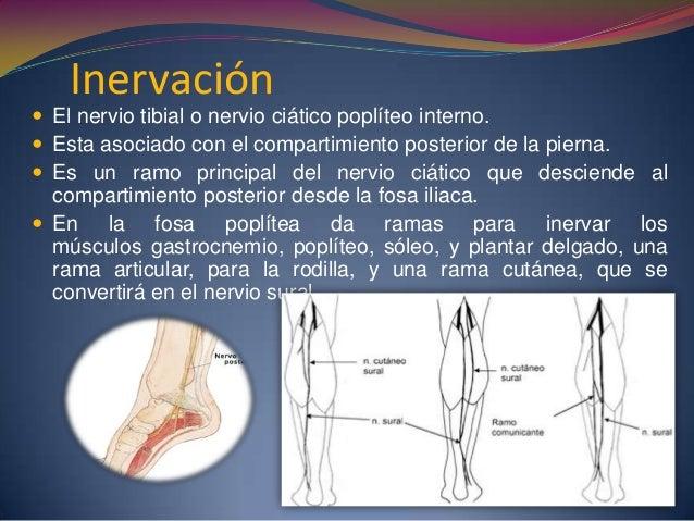 Inervación  El nervio tibial o nervio ciático poplíteo interno.  Esta asociado con el compartimiento posterior de la pie...
