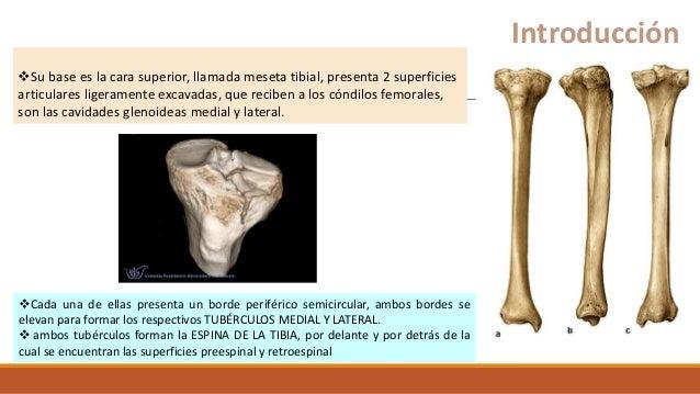 Su base es la cara superior, llamada meseta tibial, presenta 2 superficies articulares ligeramente excavadas, que reciben...