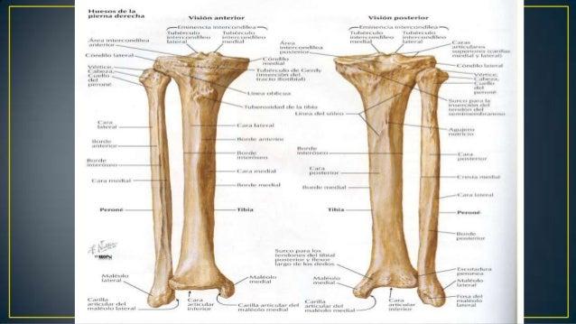 Fracturas proximales de tibia y perone
