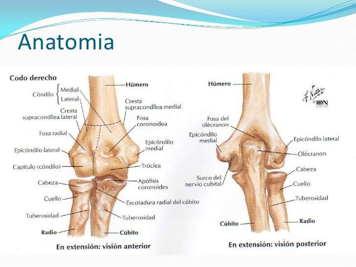 Lujoso Anatomía Del Codo Pediátrica Regalo - Anatomía de Las ...