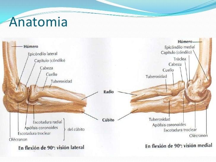 Dorable Anatomía Lateral Del Codo Componente - Anatomía de Las ...