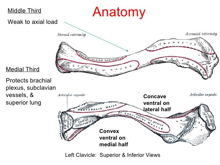 Inferior View Of Left Clavicle Diagram Complete Wiring Diagrams