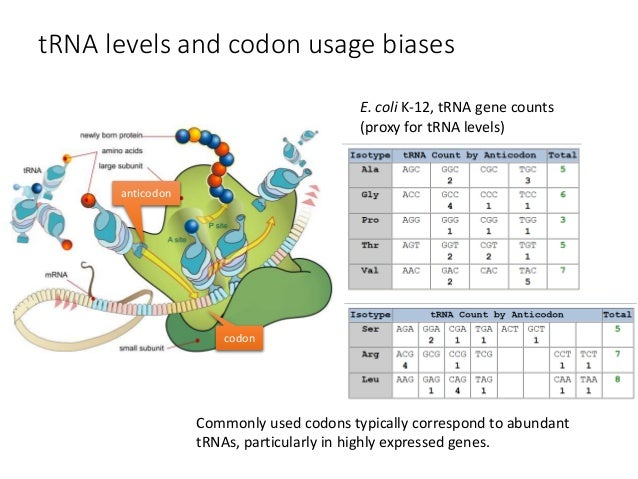 codon bias in e coli essay Of codon bias and how they may influence translation  codon frequencies  and trna gene copy numbers for e coli, s solfataricus, and h.