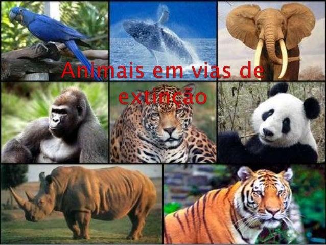 Nome popular: Panda Gigante Nome Científico: Ailuropoda melanoleuca Distribuição geográfica: Sul da China e Tibete. Habita...