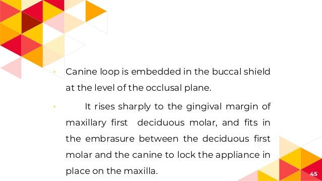 45 • Canine loop is embedded in the buccal shield at the level of the occlusal plane. • It rises sharply to the gingival m...