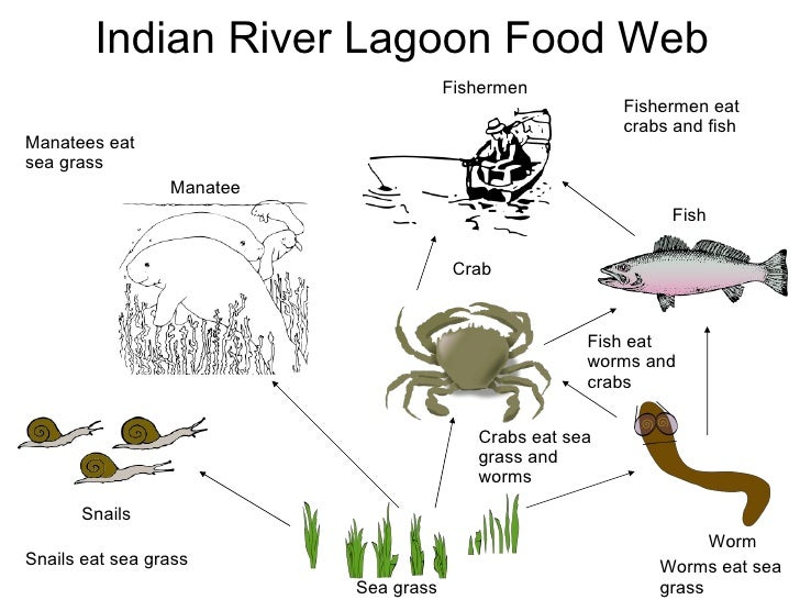 West Indian Manatee Food Web