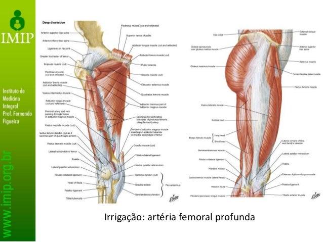 Irrigação: artéria femoral profunda