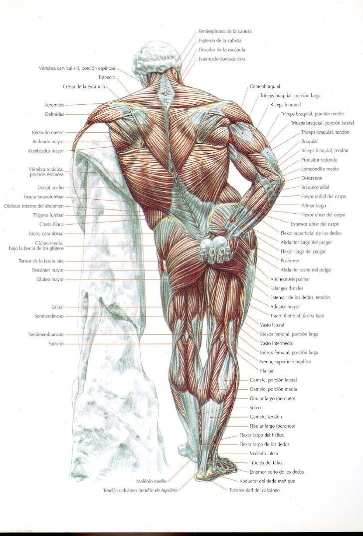 Guía de los movimientos de musculación - descripción anatómica (Frédérik Delavier) Slide 3