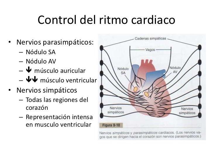 Resultado de imagen para Control del corazón por nervios simpáticos y parasimpáticos