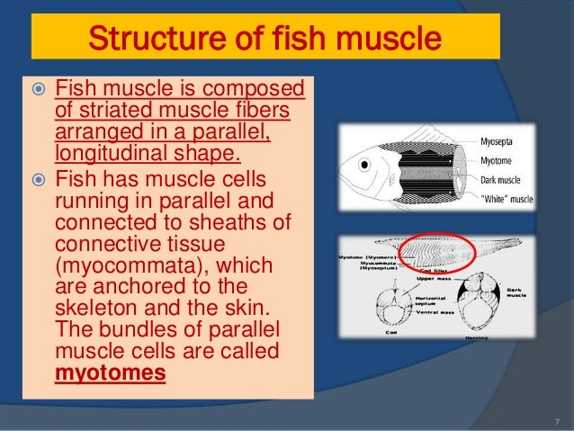 analysis of fish muscle tissue The variation in the chemical composition of fish is closely related to feed intake this can be used to estimate the fat content from an analysis of the amount of water in the fillet the proteins in fish muscle tissue can be divided into the following three groups.