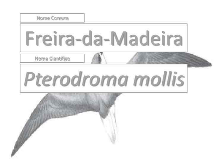 Nome Comum    Freira-da-Madeira  Nome Cientifico    Pterodroma mollis