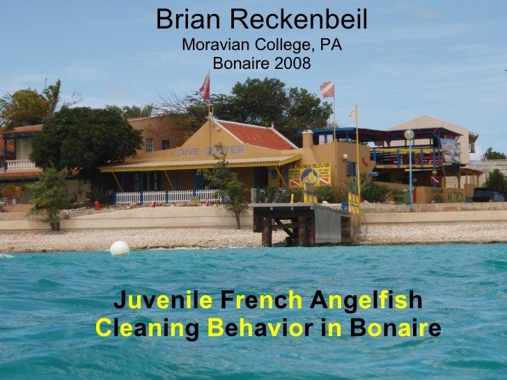 Brian Reckenbeil Moravian College, PA Bonaire 2008 J u v e n i l e  F r e n c h  A n g e l f i s h  C l e a n i n g  B e h...