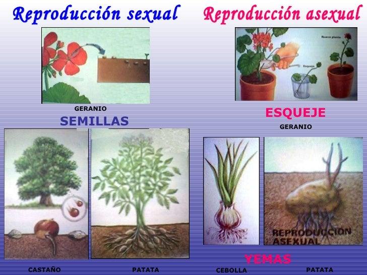 Reproduccion asexual de geranios flores