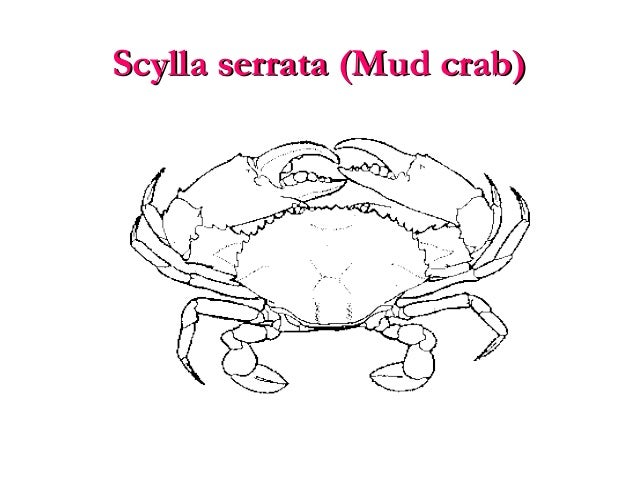scylla serrata (mud crab)scylla serrata (mud crab)