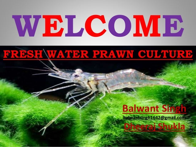 WELCOME Balwant Singh balwantsingh1642@gmail.com Dheeraj Shukla FRESH WATER PRAWN CULTURE