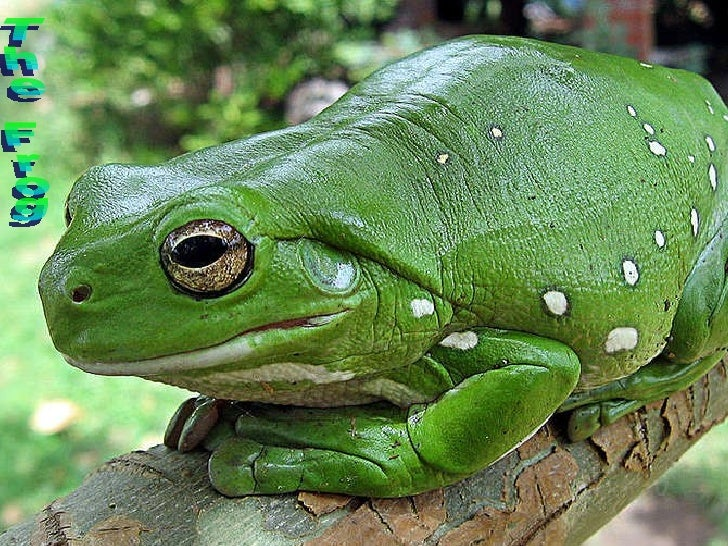 The Frog