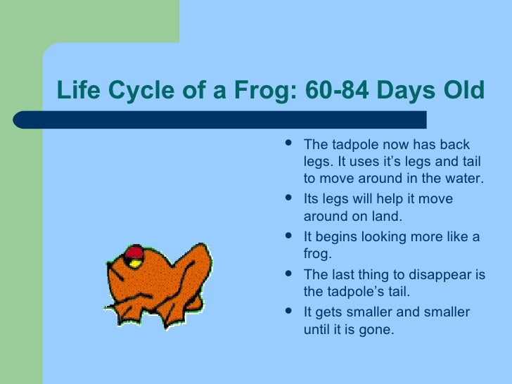 Life Cycle of a Frog: 60-84 Days Old <ul><li>The tadpole now has back legs. It uses it's legs and tail to move around in t...