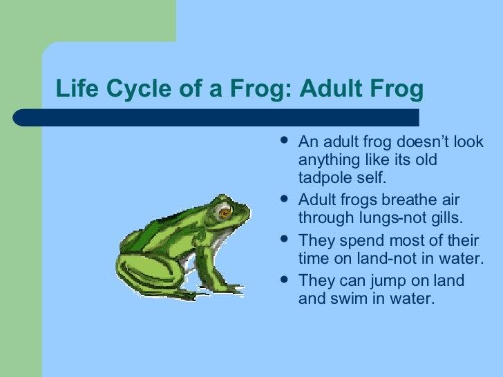 Life Cycle of a Frog: Adult Frog <ul><li>An adult frog doesn't look anything like its old tadpole self.  </li></ul><ul><li...