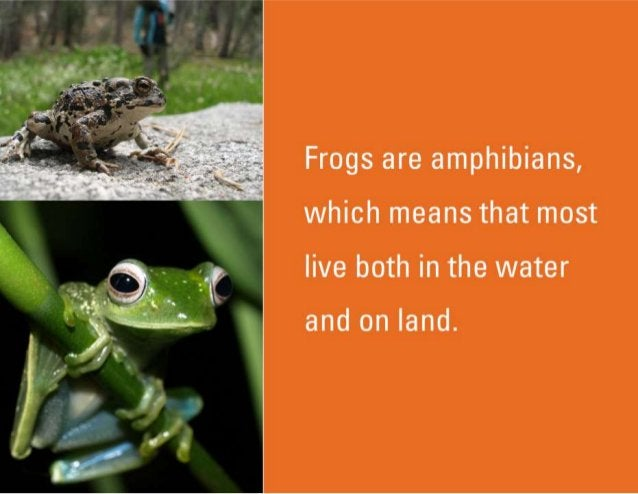 Frogs are amphibians,  which means that most live both in the water  and on land.