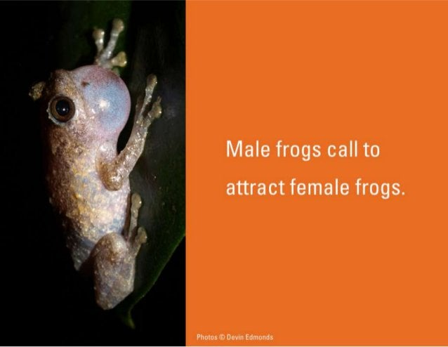 Male frogs call to  attract female frogs.   Photos © Devin Edmonds