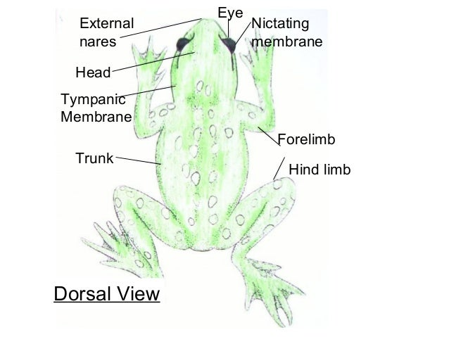 External Frog Diagram Wiring Diagram Database