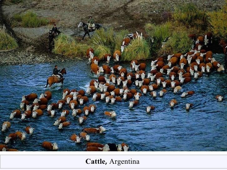 Cattle ,  Argentina
