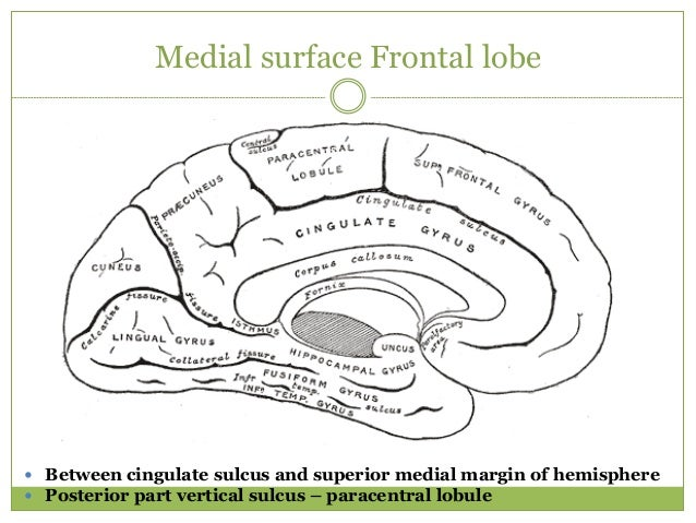 Medial surface Frontal lobe  Between cingulate sulcus and superior medial margin of hemisphere  Posterior part vertical ...