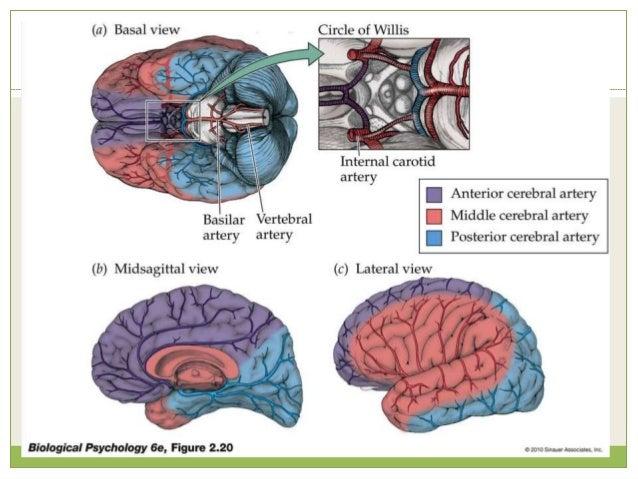 Primary Motor Cortex Precentral gyrus; Brodmann's Area 4  Input  thalamus, BG, sensory, premotor  Output  motor fibers...