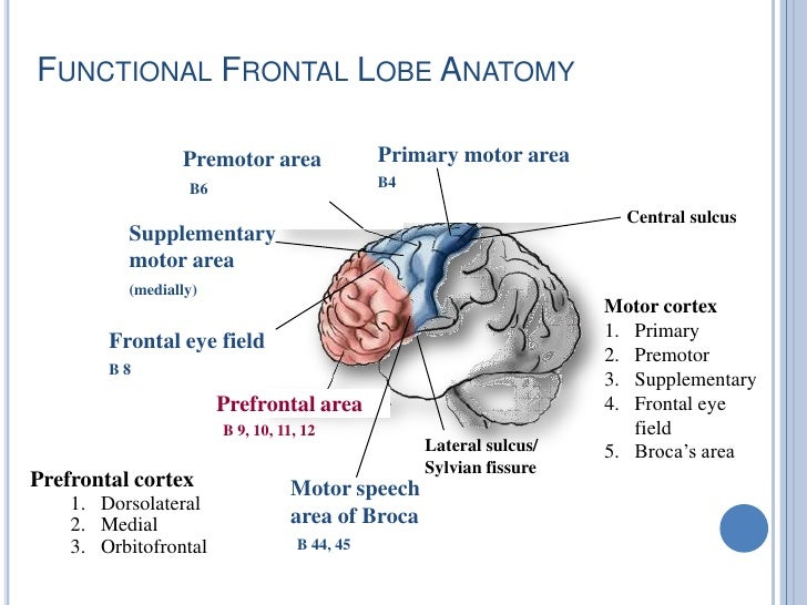 the important role of the prefrontal cortex in problem solving Important implications for the nature of prefrontal spe-  tendenciesa second common theme is the role of the prefrontal cortex in the early,subjectively attentional  memory retrieval,language processing,problem solving and many other cognitive domains 21so,imaging data.
