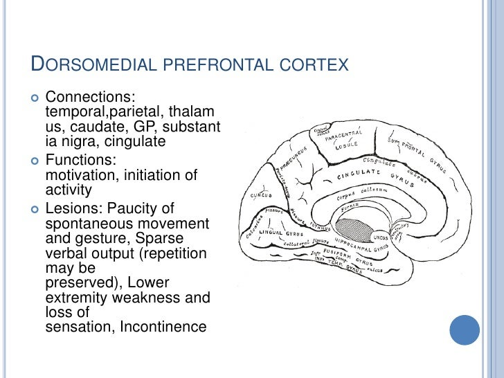 prefrontal cortex In mammalian brain anatomy, the prefrontal cortex (pfc) is the cerebral cortex which covers the front part of the frontal lobe the pfc.