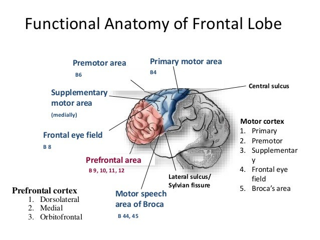 Anatomy of frontal lobe