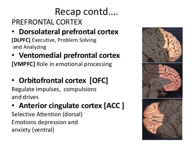 the role of the prefrontal cortex Prefrontal cortex definition the prefrontal cortex (pfc) is the cerebral cortex which covers the front part of the frontal lobe this brain region has been implicated.