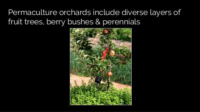 Food forests: fruit & nut tree guilds Slide 3