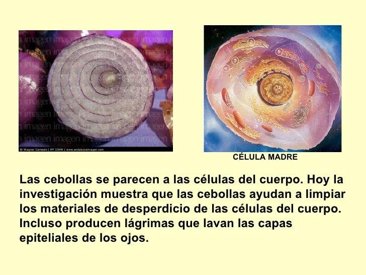 Las cebollas se parecen a las células del cuerpo. Hoy la investigaciónmuestra que las cebollas ayudan a limpiar los mater...