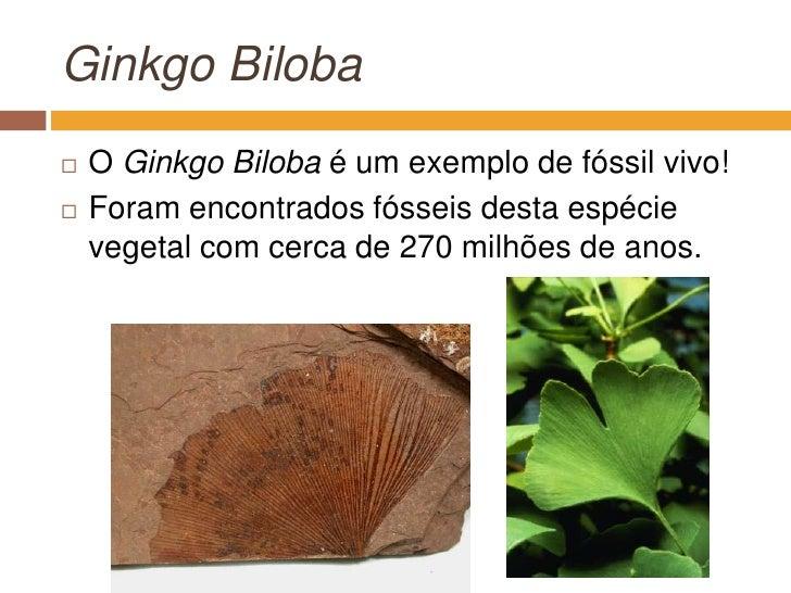 GinkgoBiloba<br />O GinkgoBilobaé um exemplo de fóssil vivo!<br />Foram encontrados fósseis desta espécie vegetal com cerc...