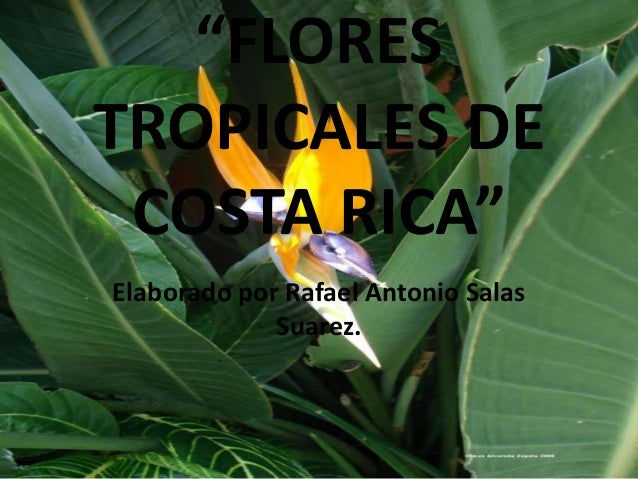 """""""FLORES  TROPICALES DE  COSTA RICA""""  Elaborado por Rafael Antonio Salas  Suarez."""