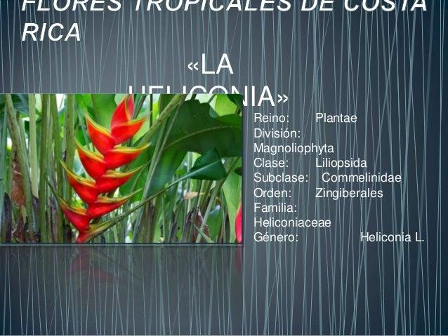 «LA  HELICONIA»  Reino: Plantae  División:  Magnoliophyta  Clase: Liliopsida  Subclase: Commelinidae  Orden: Zingiberales ...