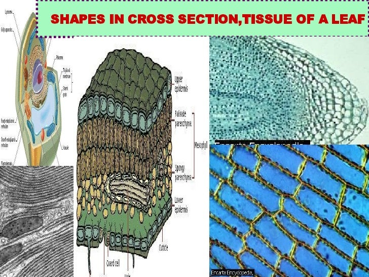 SHAPES IN CROSS SECTION,TISSUE OF A LEAF