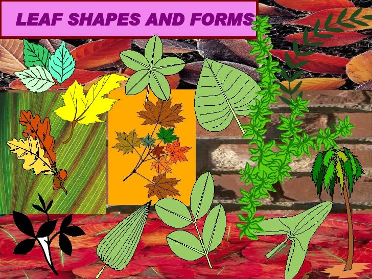 LEAF SHAPES AND FORMS