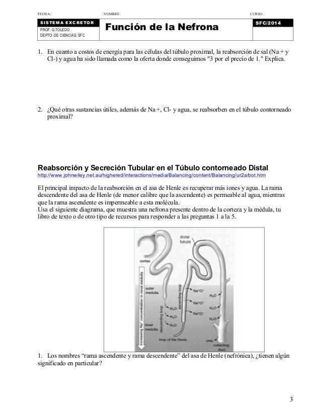 Función de la nefrona. hoja de trabajo