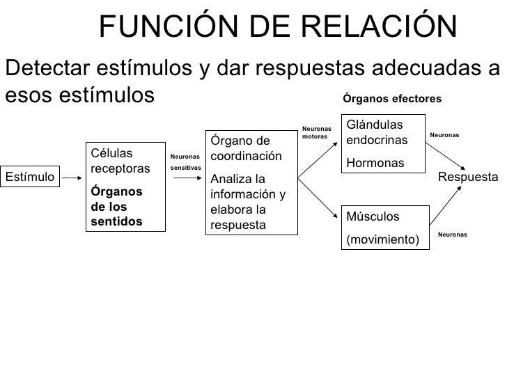 FUNCIÓN DE RELACIÓN Detectar estímulos y dar respuestas adecuadas a esos estímulos                   Órganos efectores    ...