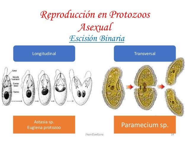 Reproduccion de protozoarios asexual