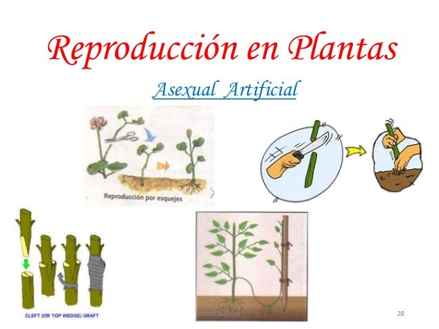 Tipos de reproduccion asexual en plantas natural y artificial