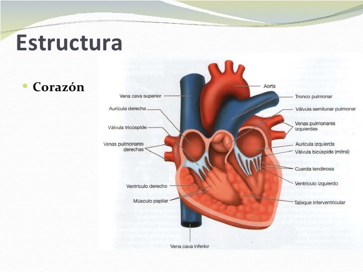 Función y estructura del sistema cardiovascular