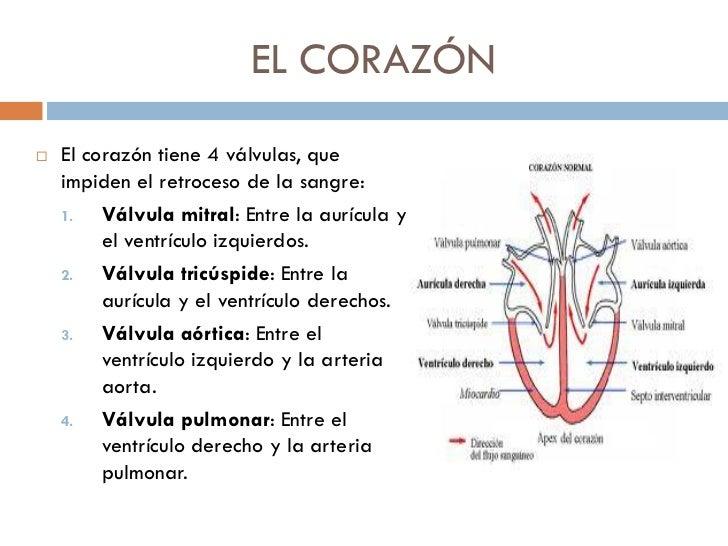 Dorable Diagrama De La Función Del Corazón Friso - Anatomía de Las ...